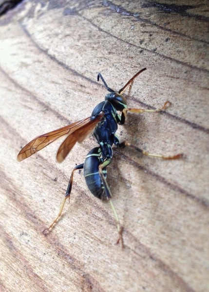 Eastern Paper wasp